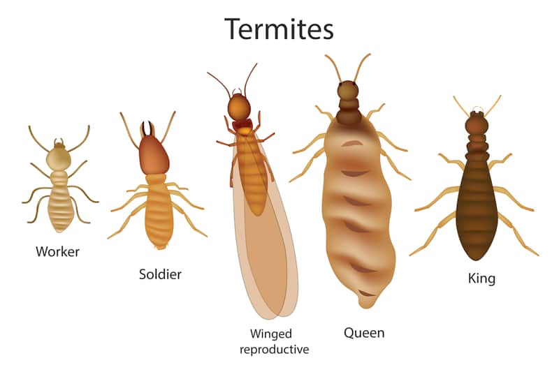 termite types and sizes pic